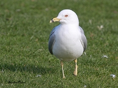 ring-billed gull Waldo Gosport