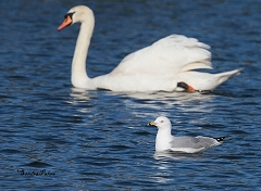 ring-billed gull and mute swan