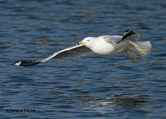 ring-billed gull Waldo flying