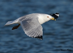 ring-billed gull Waldo in flight