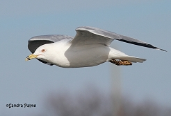 ring-billed gull in flight Waldo