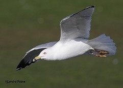 ring-billed gull in flight Waldo photo