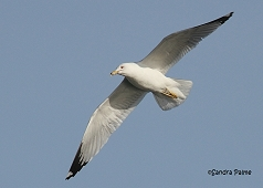 ring-billed gull in flight bird