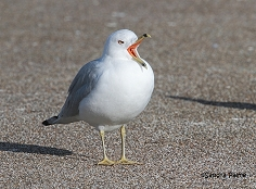 ring-billed gull yawning