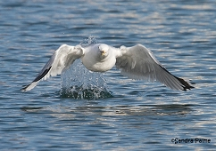ring-billed gull taking off