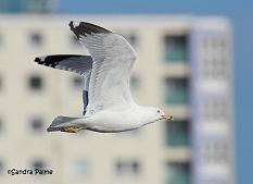 ring-billed gull Gosport