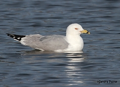 ring-billed gull swimming