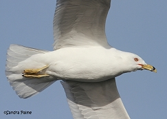 ring-billed gull flight close-up