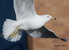 ring-billed gull Waldo flight close-up