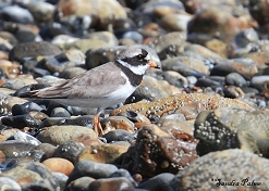 ringed plover Church Norton
