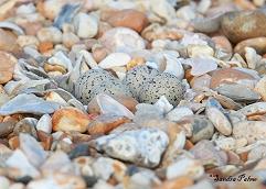 ringed plover eggs