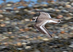 ringed plover in flight