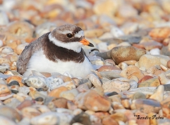female ringed plover on nest