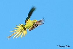 ring-necked parakeet in flight