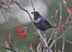 ring ouzel feeding on rowan berries