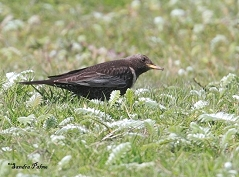 ring ouzel West Sussex