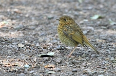 Juvenile Robin photo