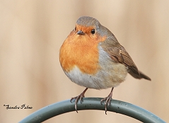 robin UK