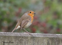 European Robin in autumn