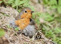 European Robin sunning