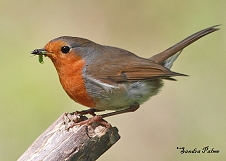 Robin with caterpillar