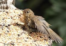 Juvenile Robin sunning