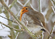 Singing Robin in winter