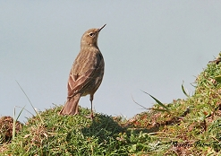 rock pipit on cliff