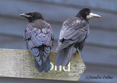Rooks – adult and juvenile