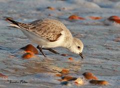 sanderling wader