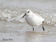 sanderling photo