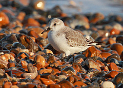 sanderling wading bird
