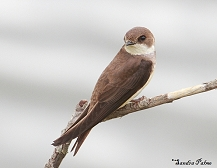 sand martin bird