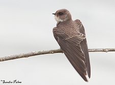 sand martin bird Riparia riparia