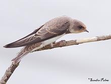 sand martin hirundine bird