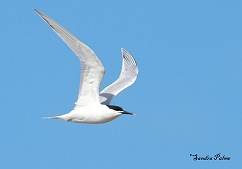 sandwich tern summer plumage