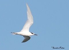 sandwich tern winter plumage