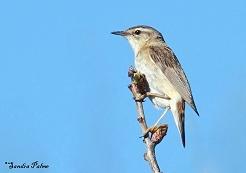 sedge warbler bird photo