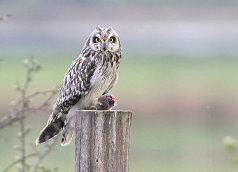 short-eared owl feeding on vole
