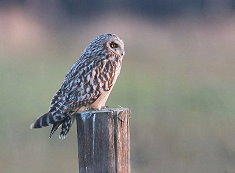 short-eared owl Sussex