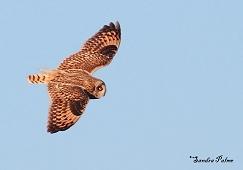short-eared owl Waltham Brooks