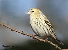 female siskin bird photo