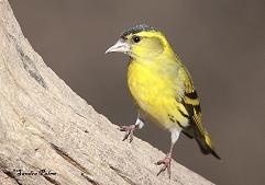 male siskin bird photo