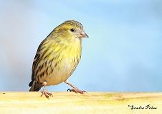 female siskin finch bird photo