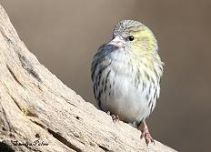 siskin finch bird photo