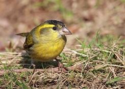 male siskin bird