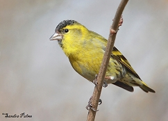male siskin finch