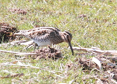 Snipe bird photo