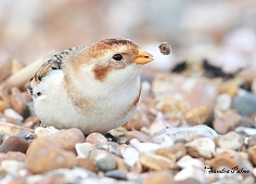 snow bunting magic
