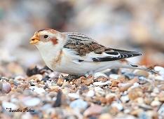 snow bunting bird Plectrophenax nivalis